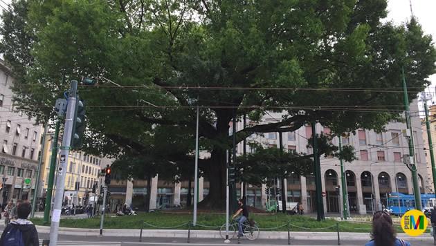 La quercia secolare di Piazza XXIV Maggio